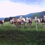 You Won't Believe What Motivates These Cows – Very Cute! thumbnail