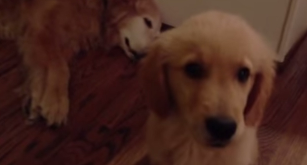 Cute puppy helps doggy friend